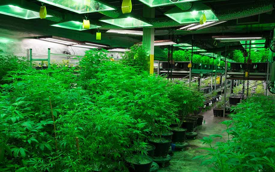 The many historical uses for medical marijuana