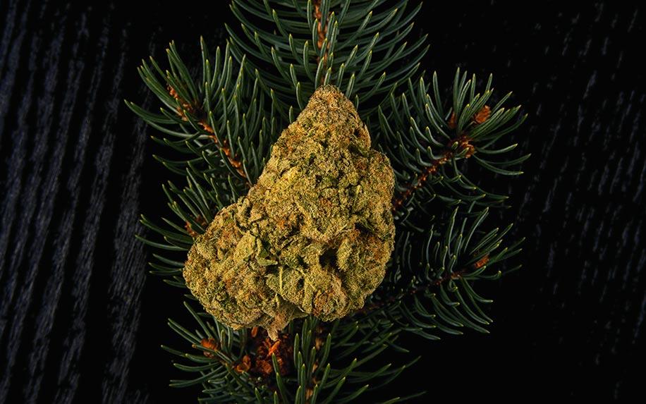 An insight to cannabis terpense