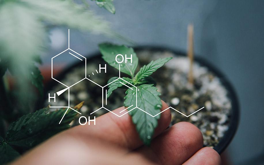 Cannabis in reducing food intake through cannabinoids
