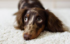 A Dachshund puppy looking away from the camera while laying down