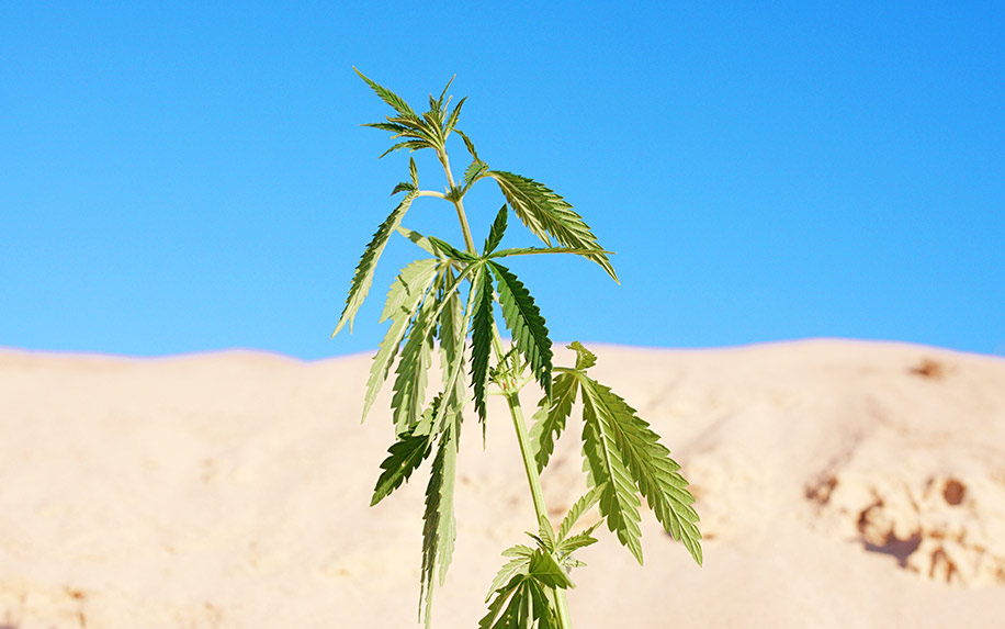 Depressant or stimulant? What really is cannabis?