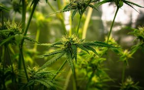 The cannabis plant in focus with the background of a cannabis blurred in the background