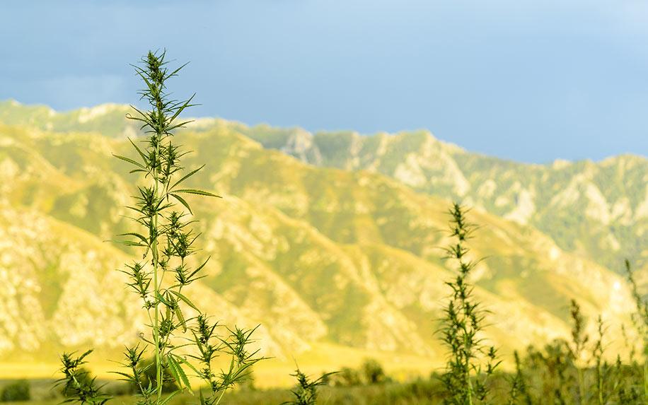 Popular cannabis tourism spots.
