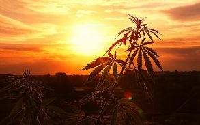 Hemp growing in a sunset.