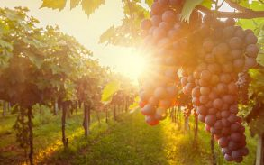 grape harvest.