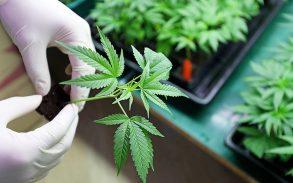 Indoors marijuana growing.