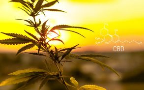 The cannabis plant in focus with a sunset behind it. Graphic to the right shows the CBD chemical compound