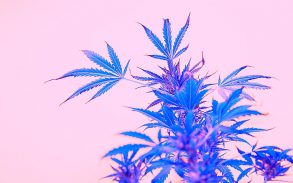 Leafs of cannabis, background image. Thematic photos of hemp and marijuana Trendy colors pink blue pop art image.