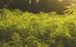 Hemp farming affected by Led Zeppelin rock music
