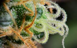 Cannabis terpene: Camphene