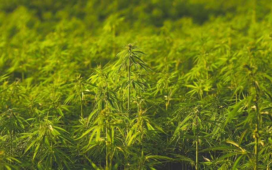Cannaflavins A + B the cannabis flavonoids