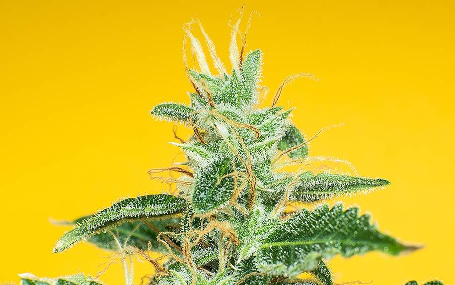 Cannabis flavonoid: Luteolin