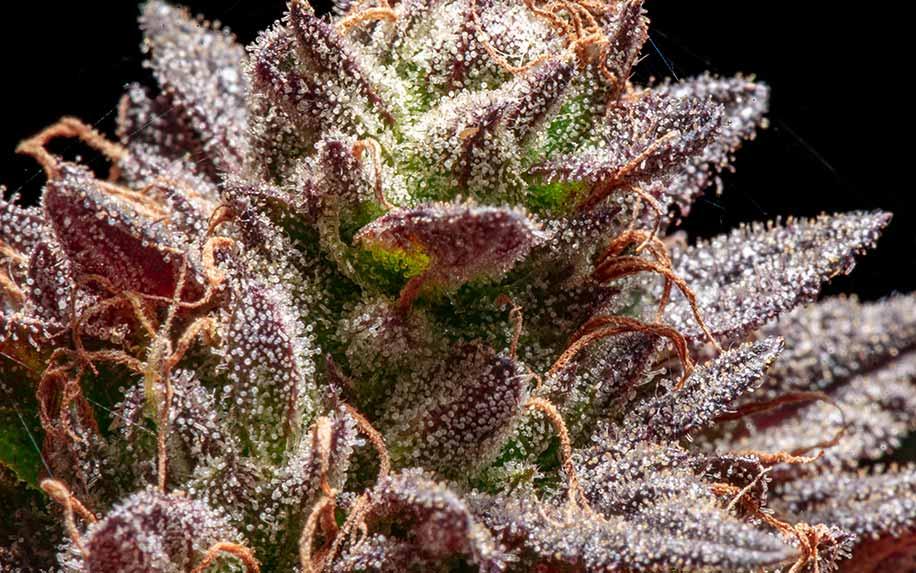 Kaempferol the cannabis flavonoid
