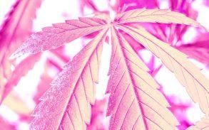 Cannabis terpene humulene.
