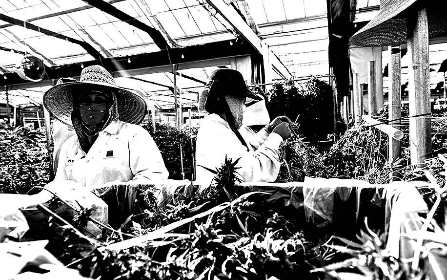 Cannabis workers complaining about treatment at work