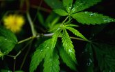 CBC: 4 Key Facts About This Major Cannabinoid