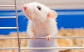 Synthetic Cannabinoid Potential Abuse in a Rat Model