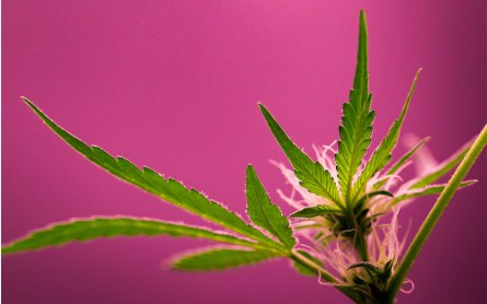 Alpha-Bisabolol: The Cannabis Terpene That's Taking Over Beauty