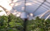 The Pinene Terpenes in Cannabis Can Help You Breathe Easier