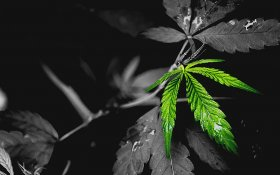 The Most Common Problems For Cannabis Plant Growers