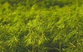 Know Your Cannabis Flavonoids: Cannaflavins A + B