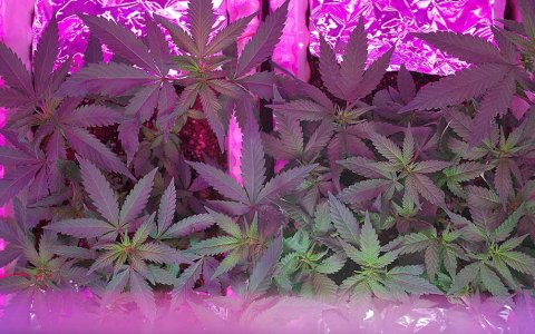 CB1 and CB2 Receptors: The Body's Locks, Unlocked By Cannabis