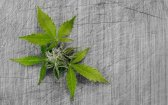 Is Cannabis Oil an Effective Treatment for Cold Sores?