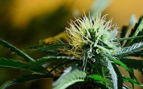 Know Your Cannabis Flavonoids: Quercetin