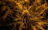 Caryophyllene: the Anti-Alcohol Cannabis Terpene