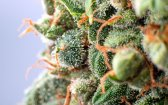 Potential Therapeutic Uses and Applications of Cannabinoids